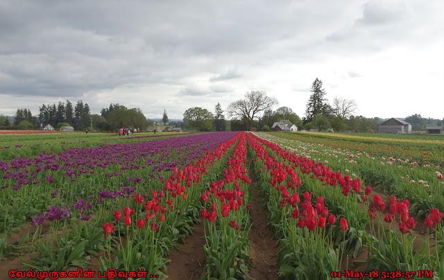 Oregon Woodburn Tulip Festival