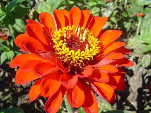 As zínias são geralmente cultivadas a partir de sementes plantadas diretamente no local definitivo e com bastante luz solar. A luz solar e a boa ventilação previnem o míldio que também aparece nas plantas em locais de clima úmido ou por excesso de irrigação.