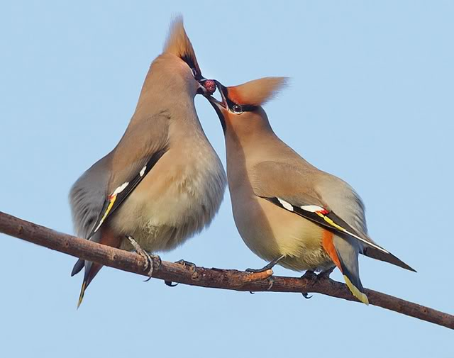 A male and female waxwing courtship.