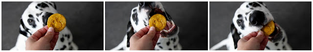 Dalmatian dog eating pumpkin dog treats