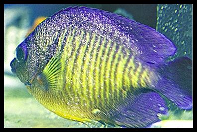 jacks evolutionary biology blog post 9 marine velvet disease