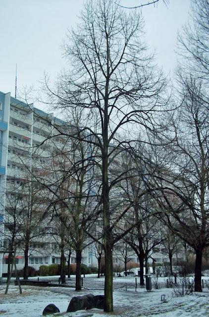 bgfas botanischer garten berlin lichtenberg frankfurter allee s d fas b ume im winter linde. Black Bedroom Furniture Sets. Home Design Ideas