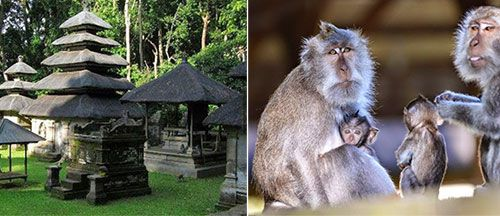 Hutan Monyet Alas Kedaton & Pura Alas Kedaton Bali, Indonesia - Objek Wisata di Bali Tabanan