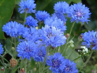 Цветок имени Мария - васильки