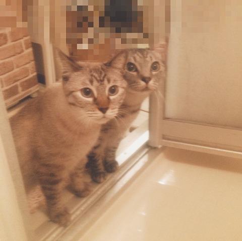 恐る恐るお風呂場を覗きに来たシャムトラ猫とサバトラ猫