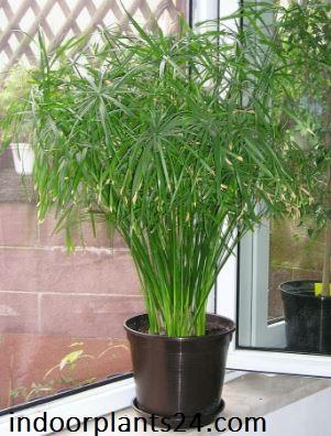 Cyperus Alternifolius Cyperaceae Umbrella Plant