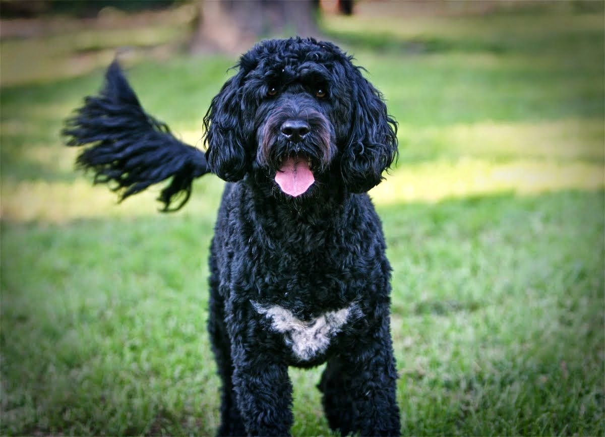 Everything about your Portuguese Water Dog