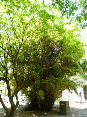 束になって生える木