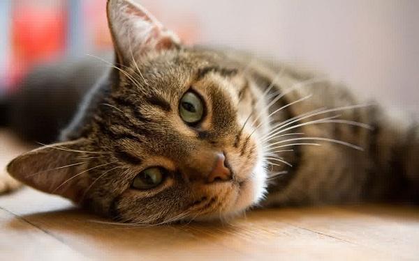 cara merawat kucing terkena penyakit kulit scabies