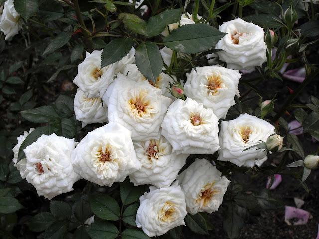 rosas de la Rosaleda de Madrid