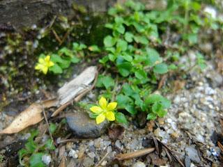 屋久島の植物、ヒメコナスビ