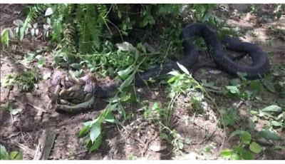 Pertarungan Tiga Jam King Kobra Melawan Piton, Siapa Menang?