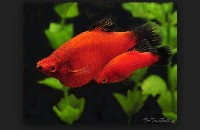 Ikan Platy dan Cara Merawatnya