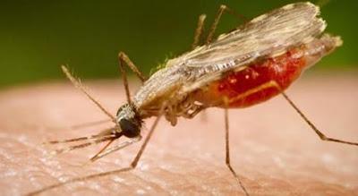 Obat Malaria Tradisional