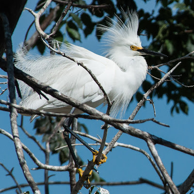 Snowy Egret, Denver City Park