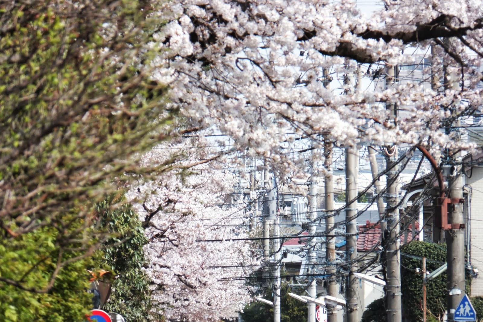 Japanese-sakura 日本の桜2