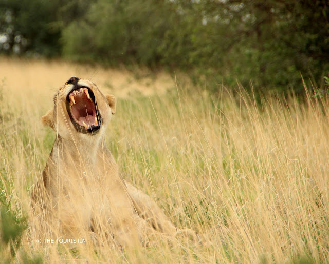 A lion lying in the savanna presenting his large front teeth and the pink of his tongue and throat while yawning.