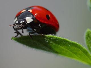 Klasifikasi dan Morfologi Kumbang Lengkap