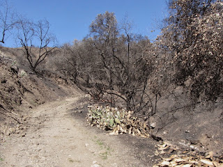 View north at Colby Fire damage on Colby Trail in Glendora