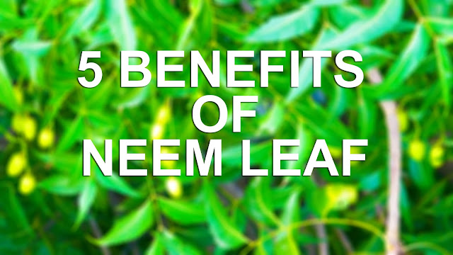 Have neem tree at home? 5 benefits of neem tree - 556 Words articles