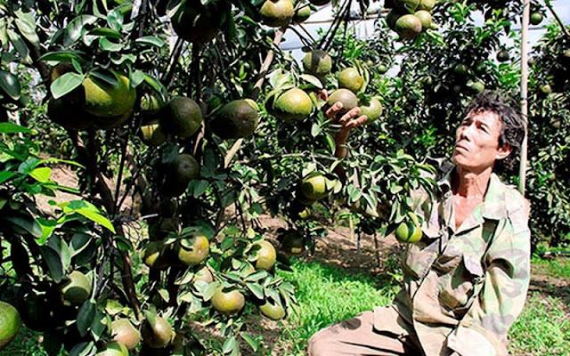 Đặc sản Đồng Nai, Trái cây Đồng Nai, trái cây sạch, trái cây miệt vườn, đặc sản trái cây, cam sành, trồng cam sành, cam sành Đồng Nai