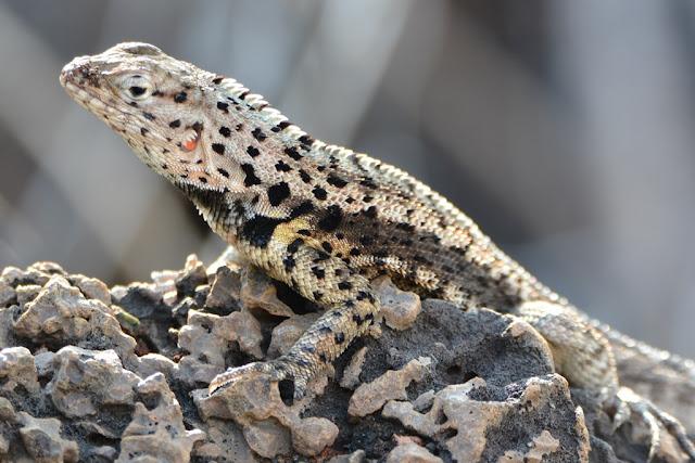 Floreana lizard