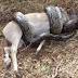 Vídeos: Cobra tenta devorar antílope na África do Sul e se dá mal