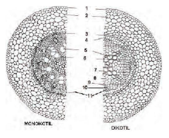 Perbedaan struktur akar monokotil dan dikotil