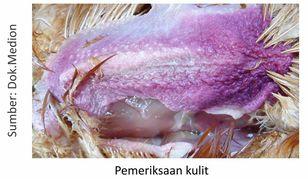 contoh pemeriksaan kulit unggas