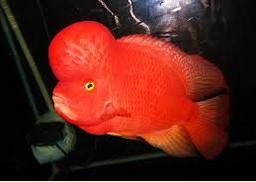 Ikan Hias Air Tawar Termahal SRS