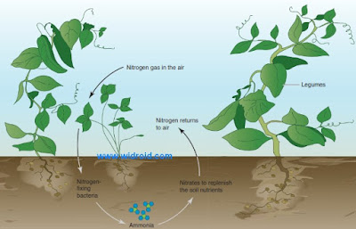 Nitrogen fixation. Nitrogen-fixing bacteria that live on or near the roots of legumes convert free nitrogen from the air into ammonia in the soil. Nitrifying bacteria then convert the ammonia into nitrites and nitrates, which are nutrients used by plants.