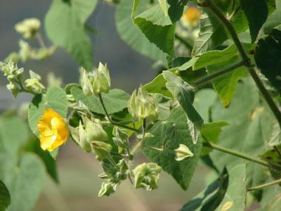 Malvavisco Abutilon grandifolium