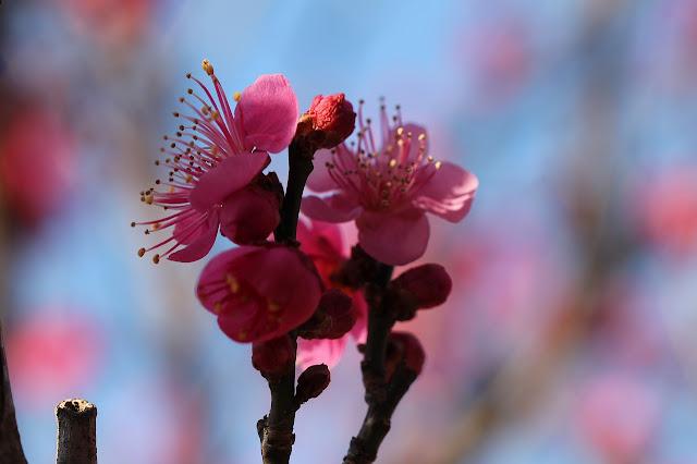 東方天満宮の梅
