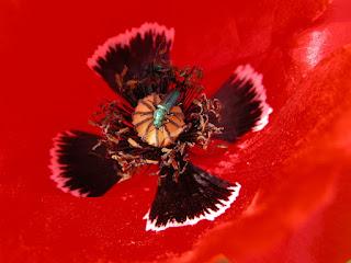 Coquelicot - Papaver rhoeas