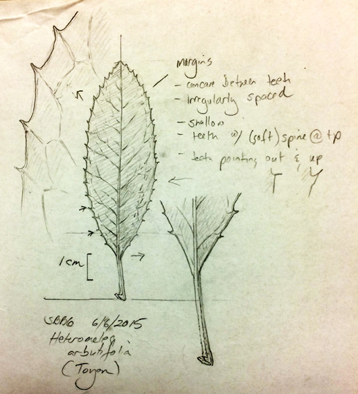 Vorobik Botanical Art And Other Endeavors Drawing And Painting