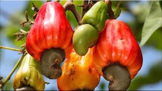 gambar buah ambu monyet, jambu mede