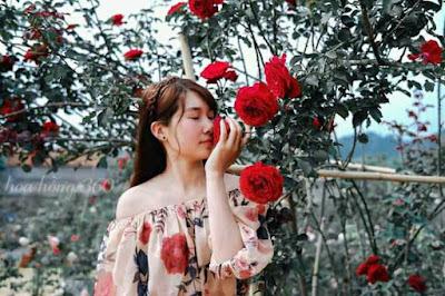 ảnh hoa hồng cổ sơn la