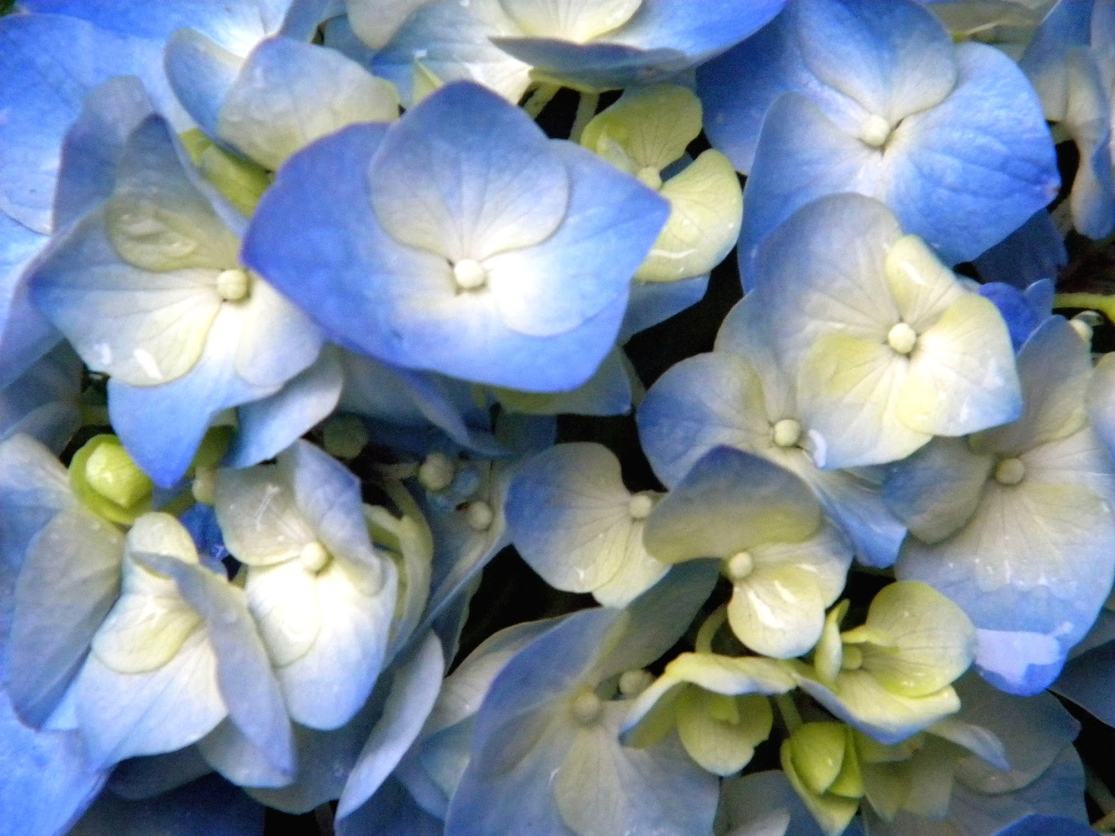 Hydrangea Blue spring flowers in NYC
