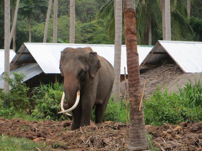 Большой слон с большими бивнями