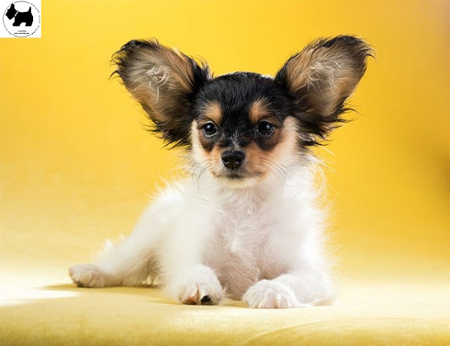 Papillon dog,dog information, Dog facts, Best dog Breeds