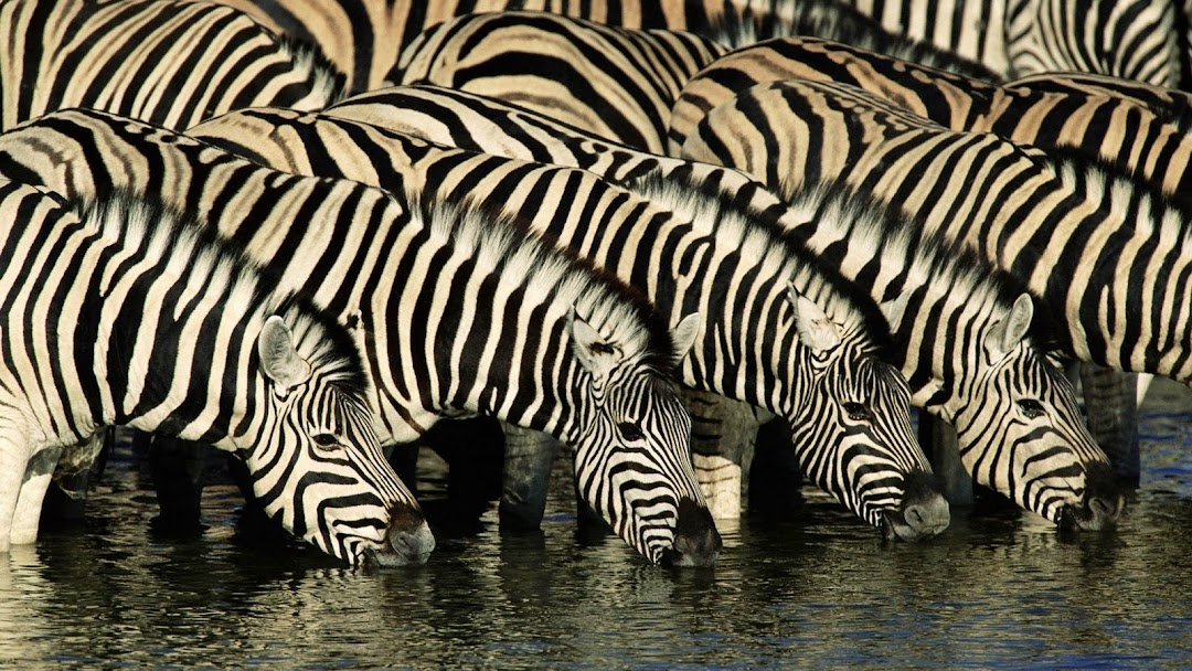 Zebra HD Wallpaper