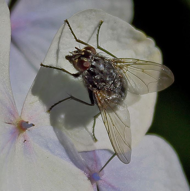 Britain A to Z - Insects - Fly