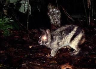 Kelinci Hutan Sumatera
