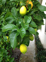 Drip Line of a Lemon