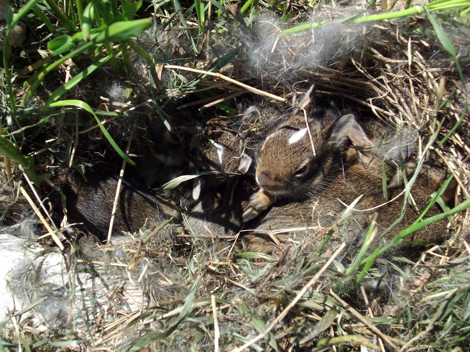 5 Fun Facts - The Eastern Cottontail | Nature Notes Blog
