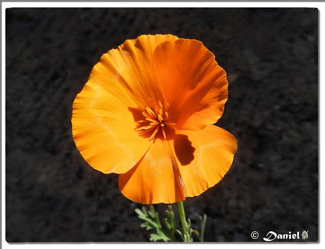 Photos daniel art - Fleur de jachere ...