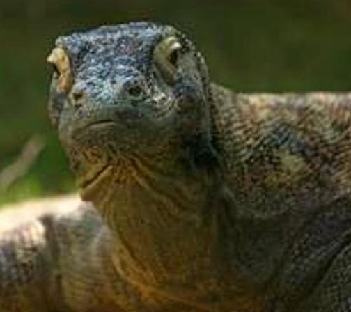 Komodo Dragon Spesis Langka asal Sulawesi  Animals Box
