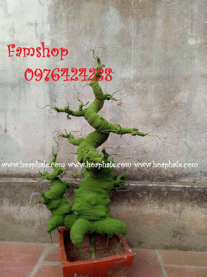 Goc bonsai mai dao tai Nguyen Kha Trac