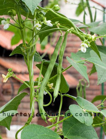 huerta y jardinería: cultivo de chauchas (phaseolus vulgaris var