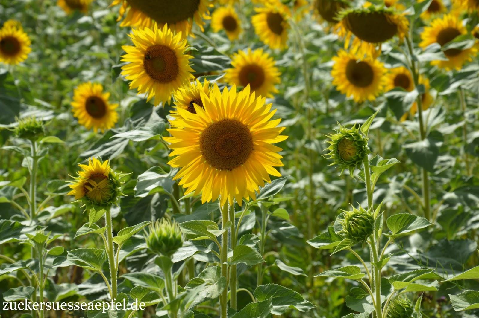 sonnenblumen anschneiden